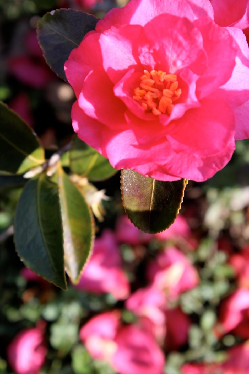 fleur cramée